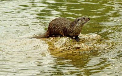 Otter Surveys for Development