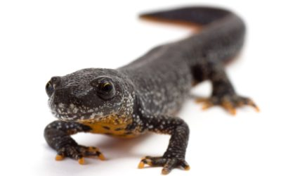 Great Crested Newt Mitigation and Compensation