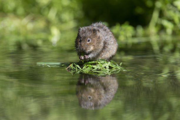 water vole surveys