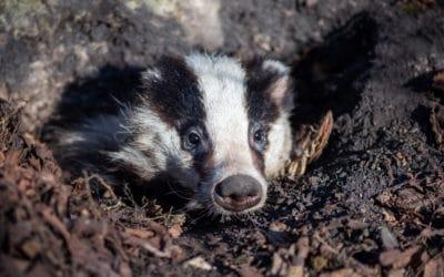 Badger Sett Closure