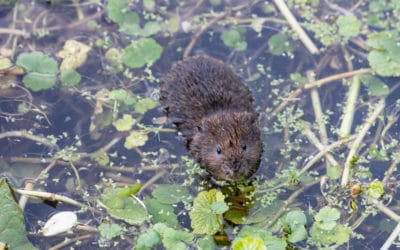 Water Vole Mitigation and Compensation