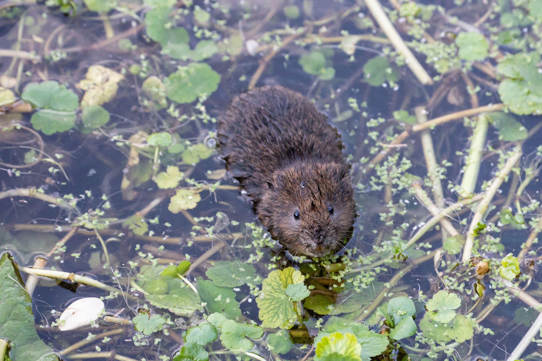 water vole mitigation