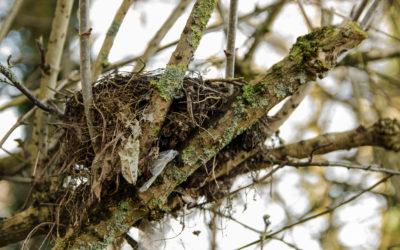 Undertaking a Nesting Bird Survey for Development