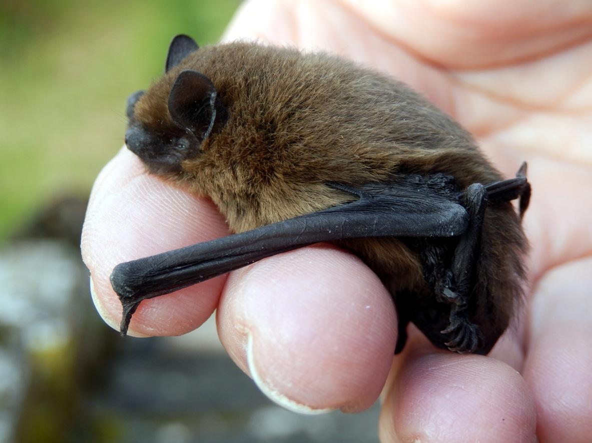 bat survey cheshire