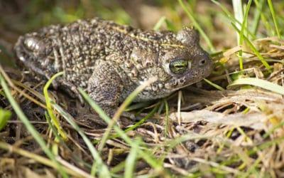 Undertaking an Amphibian Survey for Development