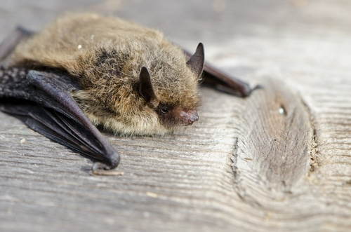 bat survey Liverpool