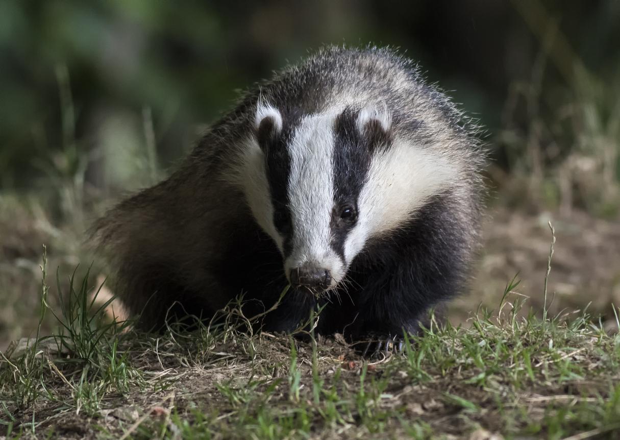 badger survey leeds