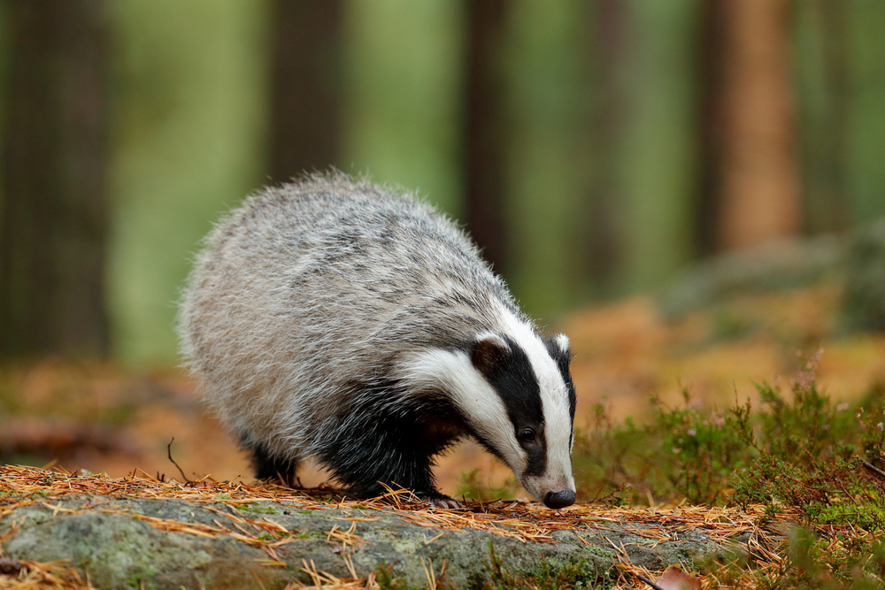 badger survey manchester